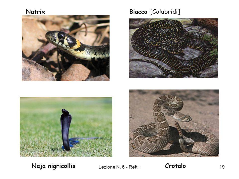 Natrix Biacco [Colubridi] Naja nigricollis Crotalo